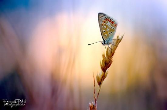 Бабочка на колоске