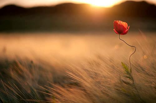 Цветок в поле на ветру
