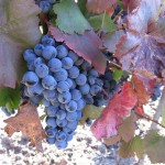 Пора сбора винограда