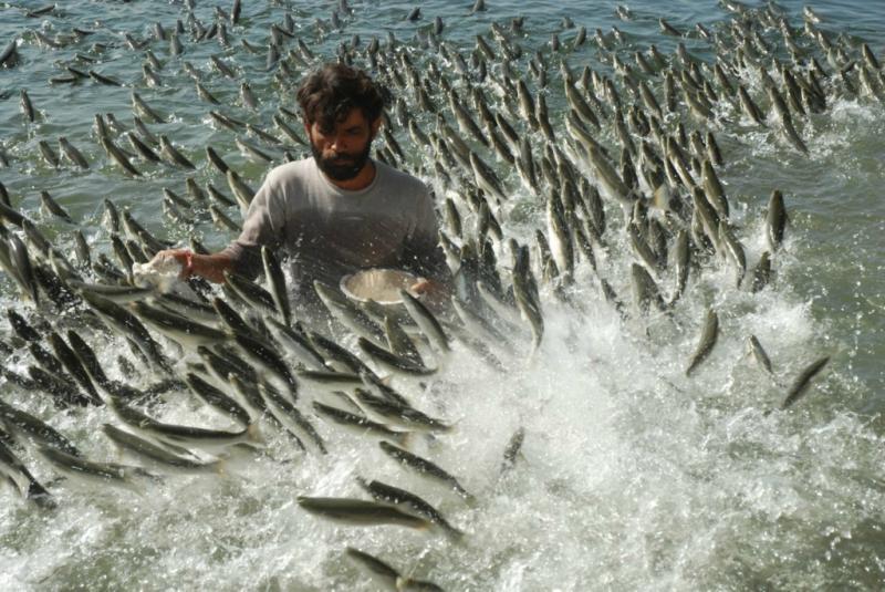 Кормёжка рыбы