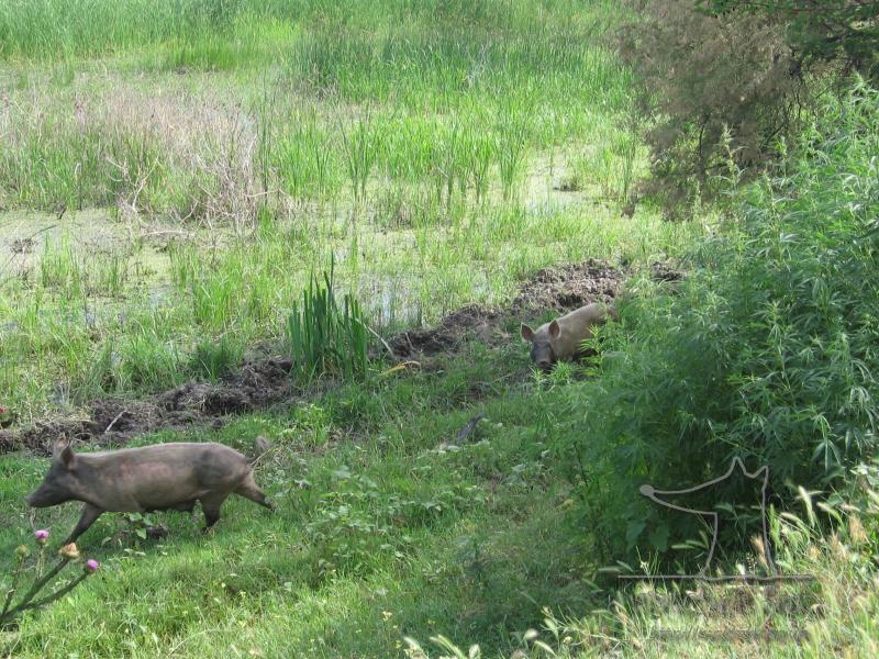 Свиньи в конопле