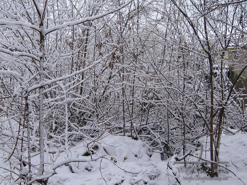 Снежные деревья