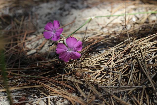 Цветы в соснах