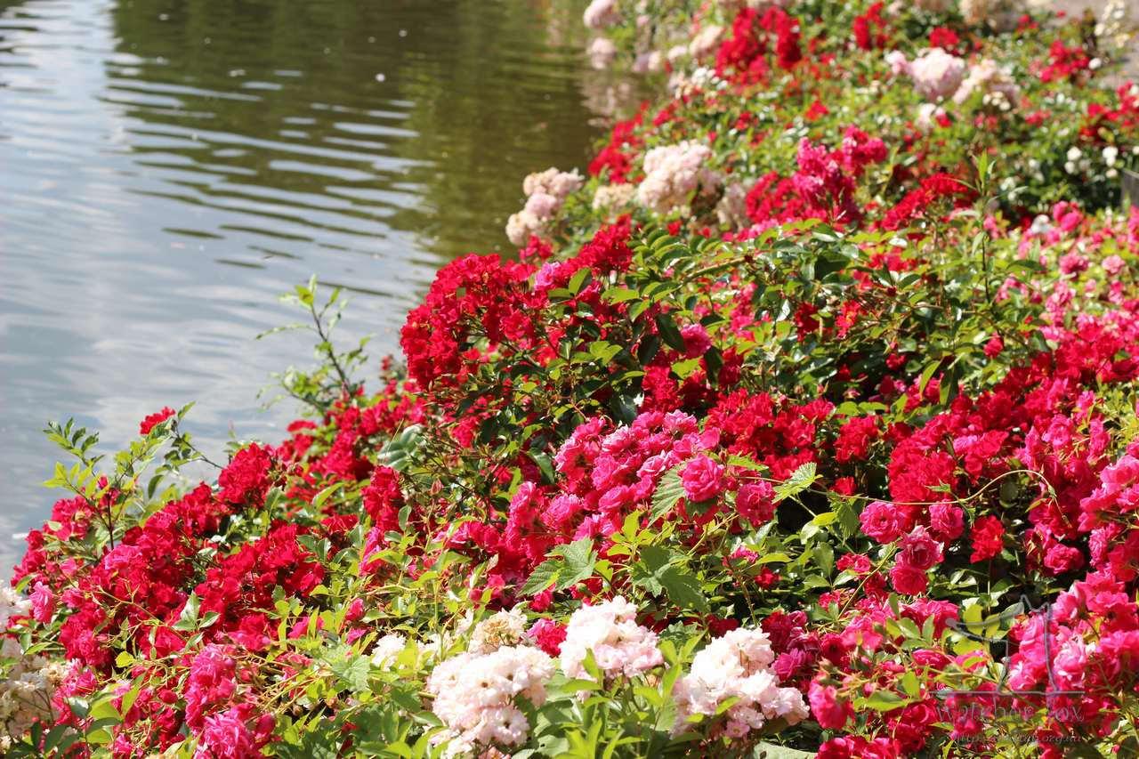 Розы возле воды