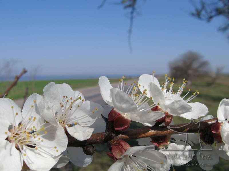 Цветы абрикосы