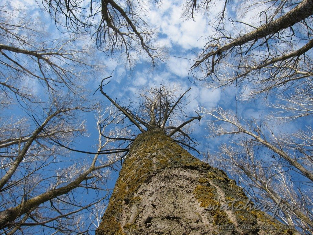 Кроны тополей ранней весной на фоне голубого неба