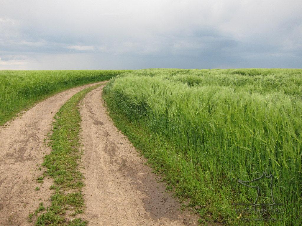 Дорога в зелёном поле пшеницы